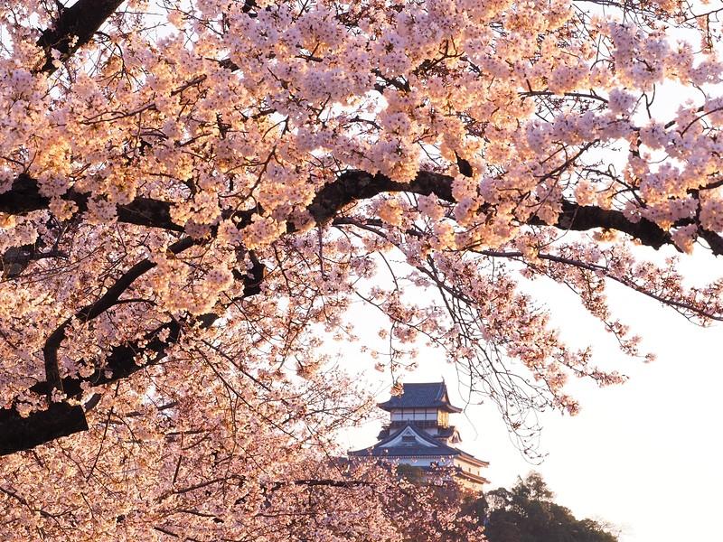 夕桜と犬山城