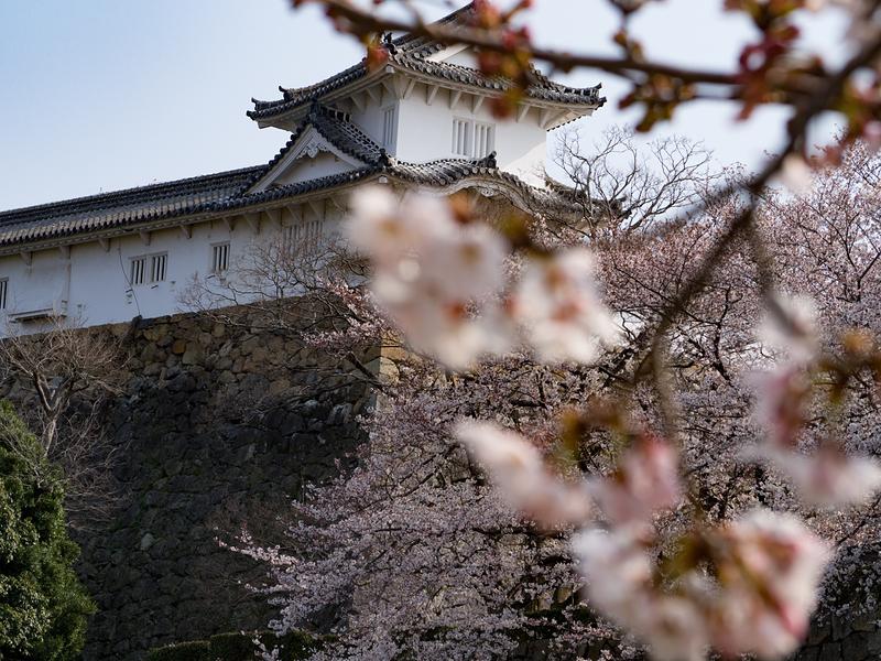 姫路城 今日の主役は城じゃなく桜