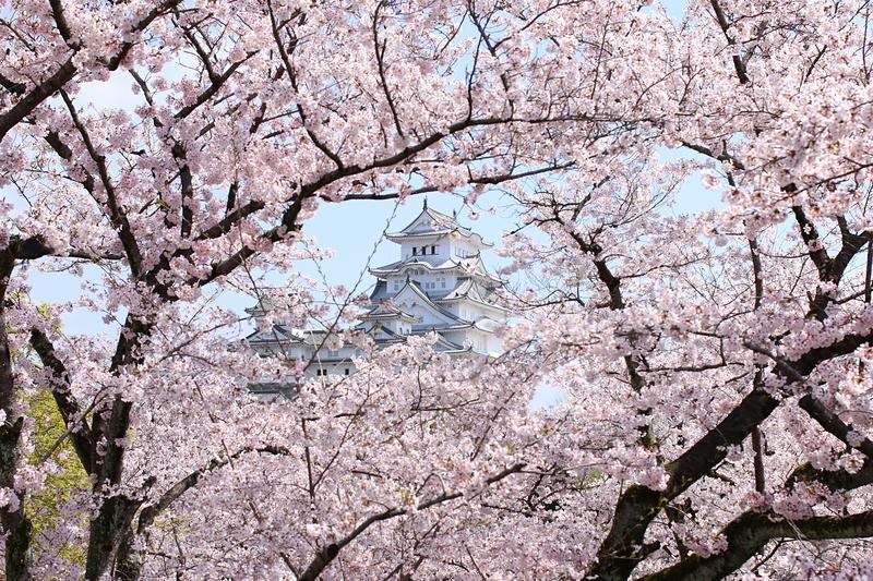 天守を覆いし桜の舞[姫路城]
