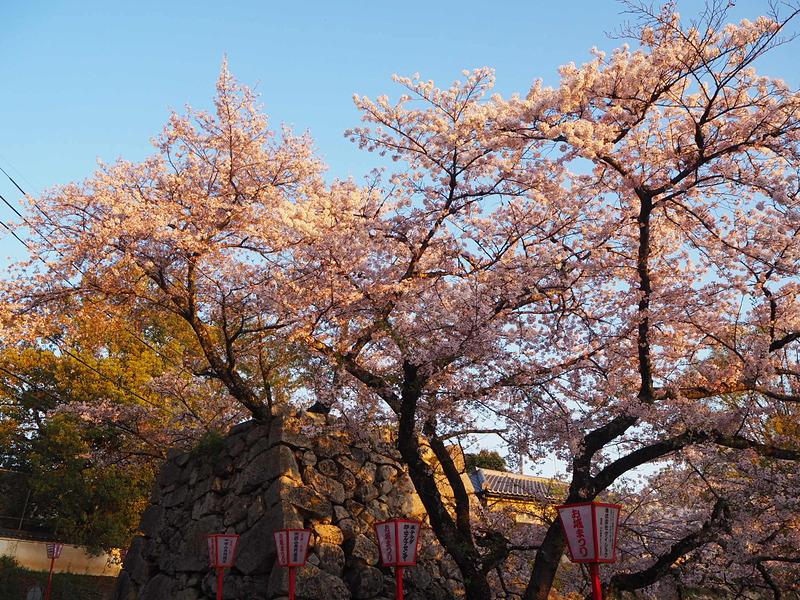 朝日を浴びて◆鉄御門に咲く桜