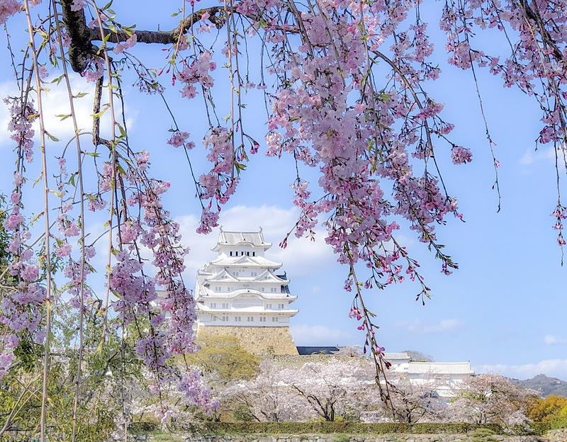 しだれ桜からの姫路城[姫路城]