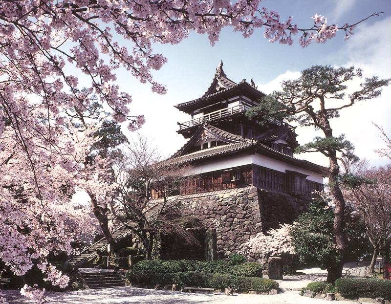 丸岡城と桜