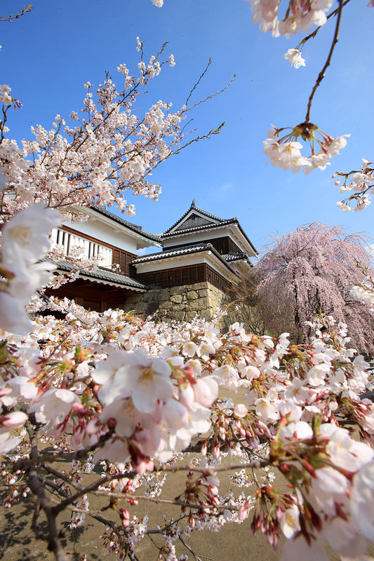 上田城跡公園の千本桜