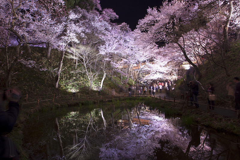 水面に映る夜桜(鏡面桜)