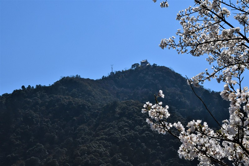 金華山と桜