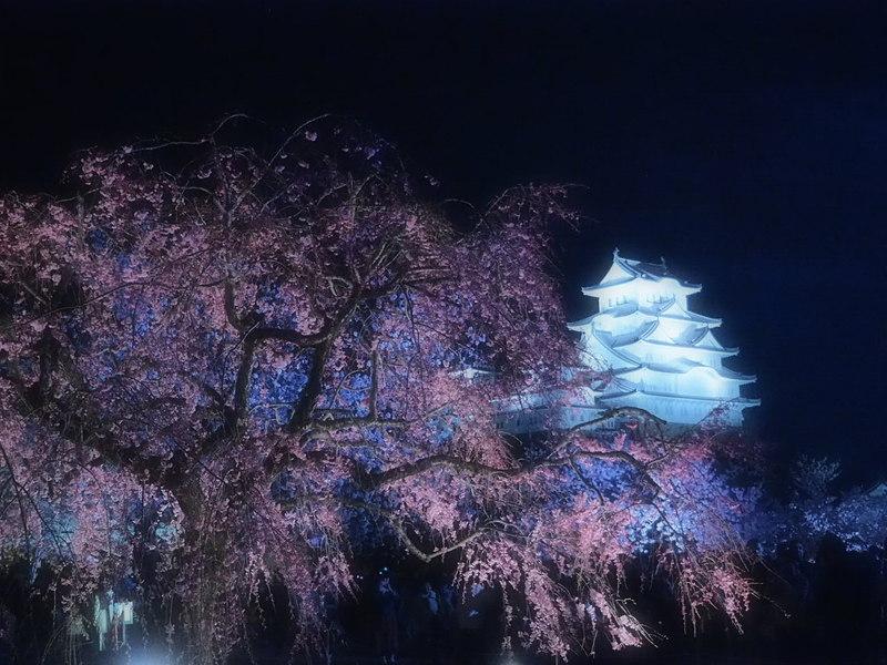 しだれ桜と天守閣[姫路城]