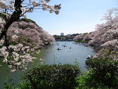 千鳥ヶ淵緑道の桜②