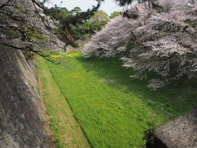 緑の絨毯に向かってのびのびと伸びる桜