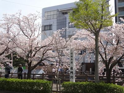水門川の桜並木