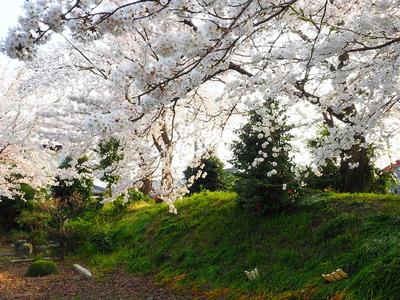 土塁に桜咲く