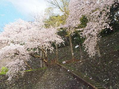 風光り桜舞う