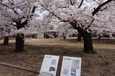 城址内の桜と案内板