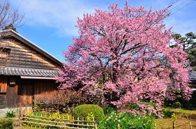 蜂須賀桜の母樹と原田家住宅