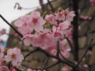 隠し曲輪の桜