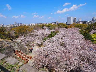 天守台から見る桜と城址
