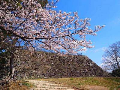 桜と天守台