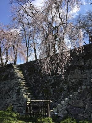 本丸石垣と桜