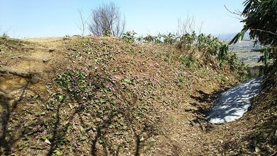米蔵跡の堀切に咲くカタクリの花