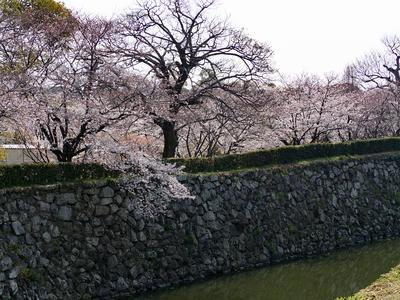 姫路城 内船場蔵南石垣と桜