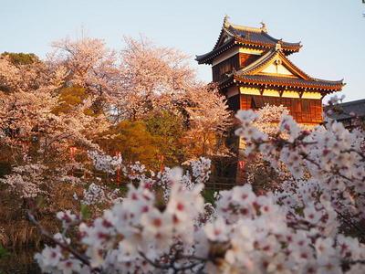 朝日を浴びて◆満開桜と追手向櫓