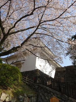 下から見上げる桜と東南隅櫓