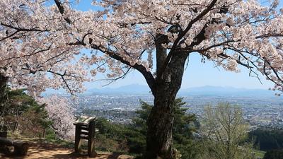 本丸阯満開の桜