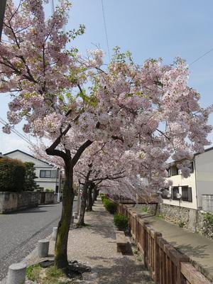 外堀通りの桜並木