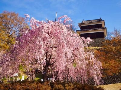 枝垂れ桜と西櫓