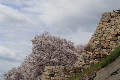 走櫓石垣と桜
