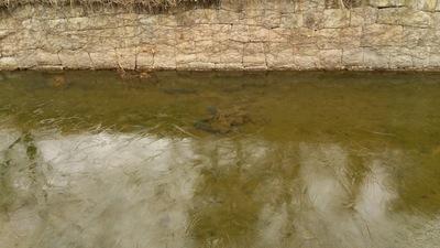 凍っている堀の中を泳いでいる鯉