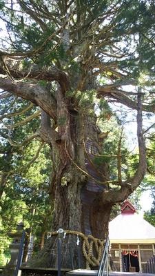 虫川の大杉(国指定天然記念物)