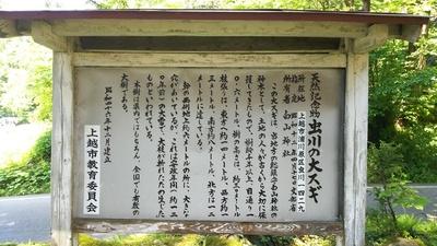虫川の大杉(国指定天然記念物)の説明板