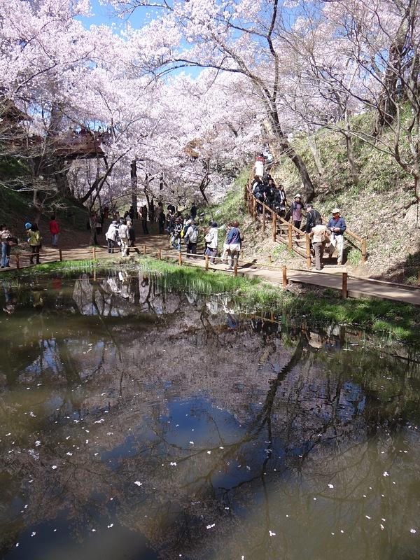 水面に映る桜[高遠城]