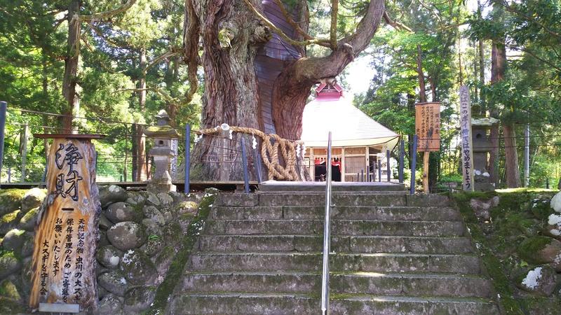 白山神社入口にある大杉