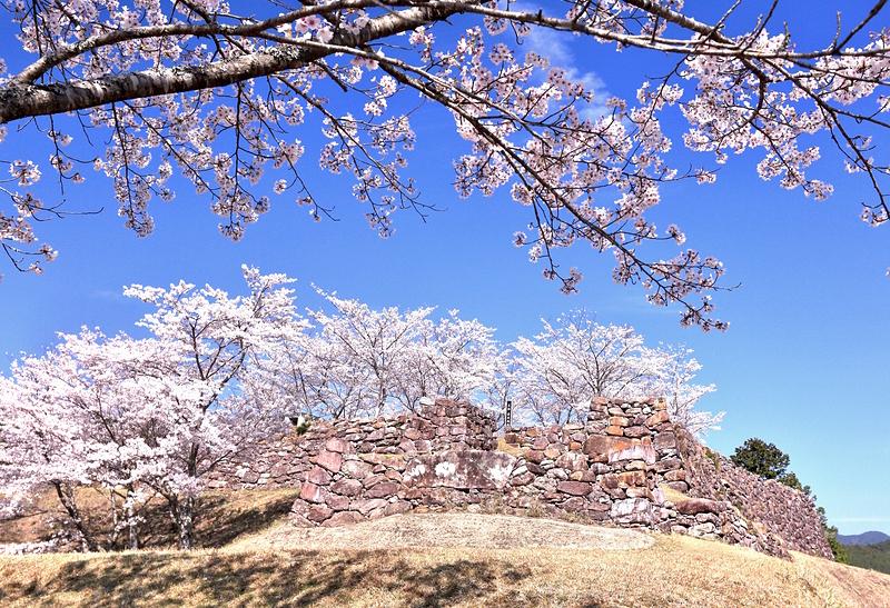 青空の赤木城と桜[赤木城]