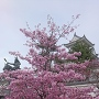 公園内の河津桜