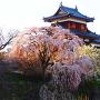 追手東隅櫓と枝垂れ桜