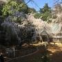 枝垂れ桜満開!