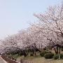 小城陣屋 土塁と桜①