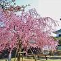 天守(北側)としだれ桜