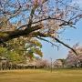 本丸跡と桜
