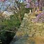 本丸石垣(西側)と桜