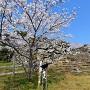 天守台と桜
