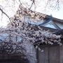 千貫櫓と桜