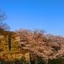 天守台東の石段から本丸の桜