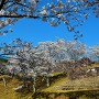 桜と城址石垣