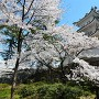 三重模擬櫓と桜