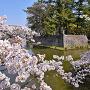 西之丸玉櫓台石垣と桜
