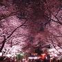 桜のトンネル(大手正門)