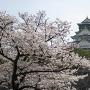 満開の桜と大阪城天守